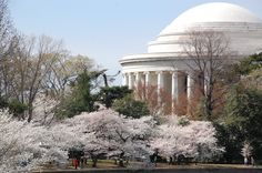 Beautiful Cherry Blossoms in Washington! Find cheap bus tickets to Washington DC on www.bustripping.com and get moving!