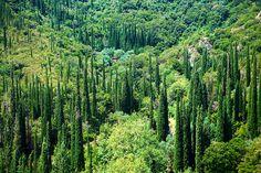 Cyressa or Cypress trees of  Mount Ainos, Kefalonia, Ionian Islands, Greece.