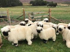 The Valais Blacknose sheep originating in the Valais region of Switzerland are known as the cutest sheep in the world and it's easy to see why. Funny Sheep, Cute Sheep, Baby Sheep, Sheep Farm, Cute Baby Animals, Farm Animals, Wild Animals, Babydoll Sheep, Valais Blacknose Sheep
