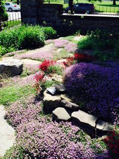 Thyme in bloom June 17: When we decided to convert to a grass free lawn in front of our house, we knew nothing about ground covers or drought smart plants.   We bought eight or