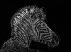 Zebra Computer Drawing by Marv Vandehey  Congratulations on your feature in the FAA-Pixels All Star Group!