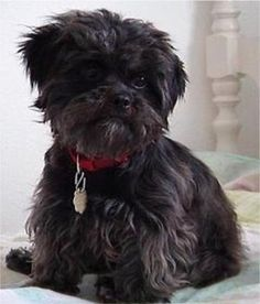 """Affenpinscher--One of the rarest dogs in the US and I believe the rarest of the toy breeds.   One just won the Westminster Kennel Club """"Best in Show"""" for 2013."""