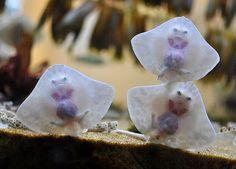 Baby stingrays...<<< they look like little raviolis