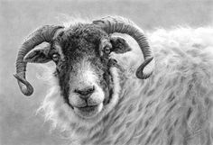 'Swaledale Ewe' by English artist Nolon Stacey. Animal Sketches, Animal Drawings, Art Sketches, Art Drawings, Sheep Drawing, Feather Drawing, Graphite Art, Sheep Art, Black And White Sketches