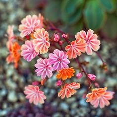 Lewisia cotyledon - 'Sunset Strain' This bloomer, from California and Oregon, has evergreen foliage and reaches a foot high and 10 inches wide. It's great in rock gardens, but needs excellent drainage