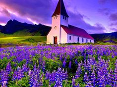 Fields of lupine In Iceland