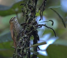 Xenops rutilans - List of birds of Brazil - Wikipedia, the free encyclopedia