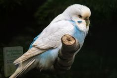 Cockatiel, Budgies, Parrots, Small Birds, Pet Birds, Betta, Parakeet Care, Cages For Sale, Tropical