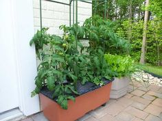 Searching for some really prudent and practical DIY tomato cage, trellis, and stake ideas to support tomato plants? This post is your stopper! Tomato Planter, Tomato Trellis, Tomato Cages, Tomato Garden, Garden Trellis, Balcony Garden, Trellis Design, Trellis Ideas, Growing Tomatoes In Containers
