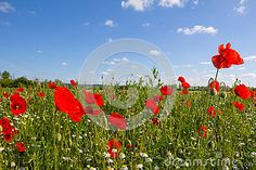 #Poppy #Field Near #Bike #Way #Lake @Neusiedlersea #B10 In @Burgenlandinfo #Austria @dreamstime #dreamstime #nature #landscape #travel #holidays #vacation #season #summer #spring #burgenland #bluesky #flowerpower #flowers #green #colorful #stock #photo #portfolio #download #hires #royaltyfree