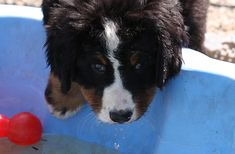 Ob es wohl was wird ? Dogs, Animals, Bernese Mountain, Puppys, Animales, Animaux, Animal Memes, Animal, Pet Dogs