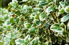 Euonymus fortunei Plants, Plant, Planets