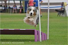 RBISS CH Shamanda Dvine Teaka at South African Dog Agility Association National Trials 2015 Graaff-Reinet. Owned by Skylamere Australian Shepherds - Melanie de Klerk