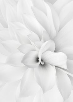 This would be beautiful framed and with glitz added, maybe lines of color and bling and glitter or something. ZsaZsa Bellagio: It's All White All White, Pure White, White Light, White Mums, White Pic, Snow White, Pinterest Color, White Flowers, Beautiful Flowers