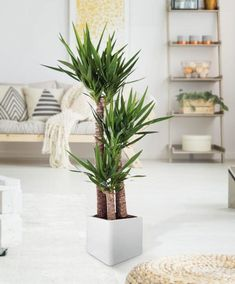 Check out 21 Tall Indoor Plants With Big Leaves by The Architecture Designs. Browse all Tall Indoor Plants With Big Leaves here. Leafy Plants, Jade Plants, Tropical Plants, Yucca Elephantipes, Tall Indoor Plants, Yucca Plant, Chlorophytum, Low Light Plants, Big Leaves
