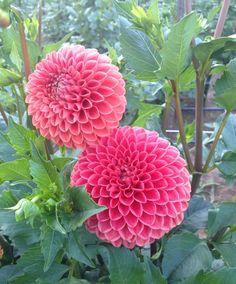 #dahlia perfection #fieldtovase #slowflowers #fiveforkfarms #flowers
