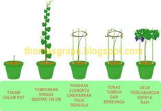 Agricultural Cultivation: How To Get Many Fruit Grapes in .- Budidaya Pertanian: Cara Agar Buah Anggur Berbuah Banyak Di Tabulampot Agricultural Cultivation: How To Get Many Fruit Grapes in Tabulampot - Funny Marriage Advice, Wine House, Vitis Vinifera, Growing Grapes, Fruit Trees, Agriculture, Bonsai, Pergola, Home And Garden