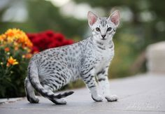 Ocicat... I'll take 5 please