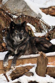 Mia in Wolf form: Leadership Beautiful Creatures, Animals Beautiful, Cute Animals, Wolf Spirit, Spirit Animal, Cane Corso, Sphynx, Wild Life, Rottweiler