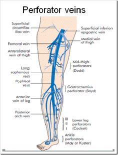 Left leg femoral artery ch 20 peripheral vascular system great saphenous vein applied anatomy publicscrutiny Choice Image
