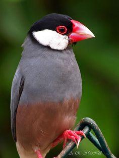 Java sparrow (Lonchura oryzivora), also known as Java finch, Java rice sparrow or Java rice Bird. See also (Padda oryzivora)