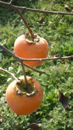Miért együnk datolyaszilvát - mik az előnyei - Valódi Sáfrány Livestock, Garden Plants, Planting Flowers, The Cure, Vitamins, Food And Drink, Home And Garden, Herbs, Vegetables