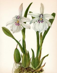 Beautiful ANTIQUE ORCHID PRINT White Miltonia by UpcycleFarmer