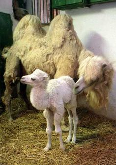 Young albino camel (notice that it has no humps yet)  #provestra