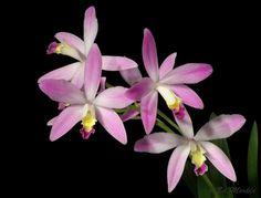 Cattleya Laelia caulescens