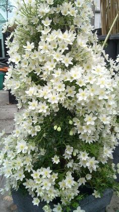 Clematis 'Cartmanii Joe' - Certain varieties of Clematis make outstanding focal points for container gardening.