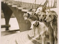 Heads of Six GreyhoundsHeads at Wembley Stadium