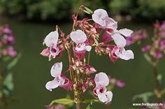 Indisches #Springkraut, Drüsiges Springkraut,# Impatiens glandulifera  http://www.florilegium.de/blog/pflanzen/heimische-wildpflanzen-und-wildkraeuter/neophyten-das-indische-springkraut-impatiens-glandulifera.html
