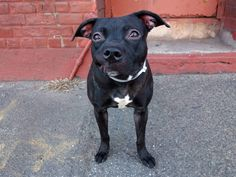 TO BE DESTROYED FRIDAY, 3/21/14-- Brooklyn Center    DIAMOND - A0993495    FEMALE, BLACK / WHITE, PIT BULL MIX, 9 mos  OWNER SUR -03/09/2014