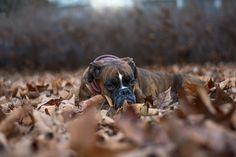 Pies, Bokser, Liście