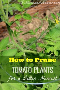 How to prune tomatoes for the best harvest ever. Love these tips on how to get more yield from  your plants.