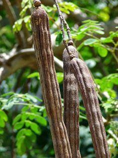 Moringa Oleifera - Cheia de benefícios para a vida.