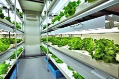 Agri-Cube grows mass quantities of vegetables in a one-car parking spot! Bountiful harvest fills the trays of a Daiwa Agri-Cube prefab garden factory Hydroponic Vegetables, Hydroponic Gardening, Urban Agriculture, Urban Farming, Indoor Farming, Indoor Gardening, Urban Gardening, Gardening Tips, Indoor Greenhouse