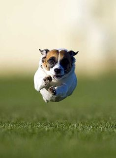 Uplifting So You Want A American Pit Bull Terrier Ideas. Fabulous So You Want A American Pit Bull Terrier Ideas. Jack Russell Dogs, Jack Russell Terrier, I Love Dogs, Cute Dogs, Pekinese, Bull Terrier Dog, Terrier Mix, Family Dogs, Training Your Dog