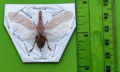 Lot of 10 Lanternfly Fulgorid Homoptera Zanna tapira FAST SHIP FROM USA