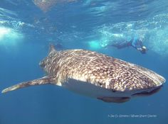 6 metre whale shark in La Paz, Baja California Sur, Mexico. See website link for information on how you can swim with whale sharks in La Paz whilst contributing to their conservation. http://www.whalesharkdiaries.com/whale-shark-trips/