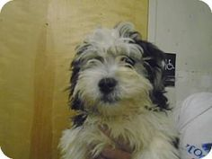 North Brunswick, NJ - Shih Tzu/Bichon Frise Mix. Meet Truman, a puppy for adoption. http://www.adoptapet.com/pet/11609247-north-brunswick-new-jersey-shih-tzu-mix