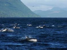 Pacific White Sided Dolphins in Johnstone Straight