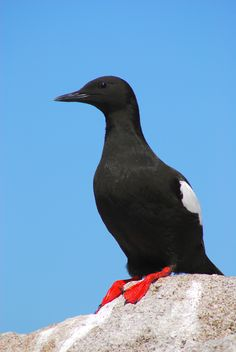 Black Guillemot ( Tystie )