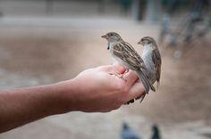Kostenloses Foto: Vogel, Spatz, Sperling, Tier - Kostenloses Bild auf Pixabay - 818045