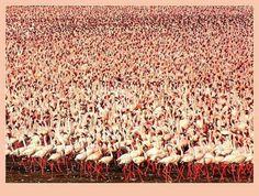 Asombrosa congregación de Flamingos en el Lago Natrón, Tanzania! Se alimentan de las algas que los tiñen de rojo.