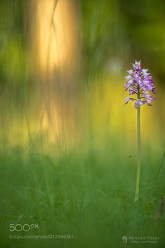 Like a painting - Facebook Orchis mascula with beautiful background light. There was some gras in the background that creates the nice painting-like effect in the bokeh.