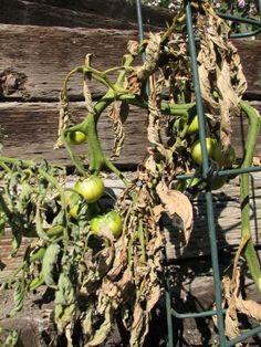"""Information On Common Tomato Plant Problems. I got more questions about problems growing tomatoes than anything else in the Garden Center last year. This website has list of problems you might encounter and some of the links provide photos and information on combating the infections."""