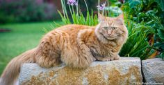 Maine Coons are some of the sweetest, gentlest and friendliest cat breeds. These animals make wonderful pets. Here are some facts about Main Coons so you can learn more about this special breed and maybe rescue one from a shelter.