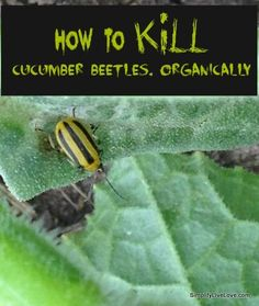 How to Kill Cucumber Beetles, Organically--dump 100% Food-Grade Diatomaceous Earth. LIFT leaves and douse underneath since the cucumber beetles like to hang out underneath, then dirt all around the plants