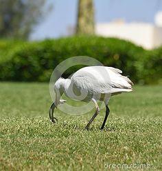 Egyptian heron bird - Bubulcus ibis.